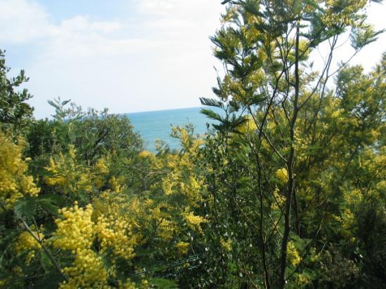 Les mimosas sauvages au coeur de l\'hiver