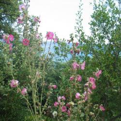 Les roses trémières devant l'océan