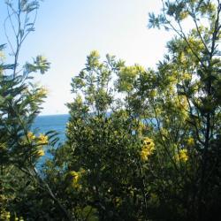 Un rideau de mimosas sauvages, à l'est